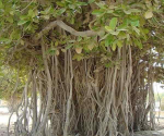 Banyan (Fig) tree  - Banyan (Fig) tree